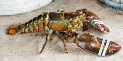Wild caught lobster on the restaurant table in Maine